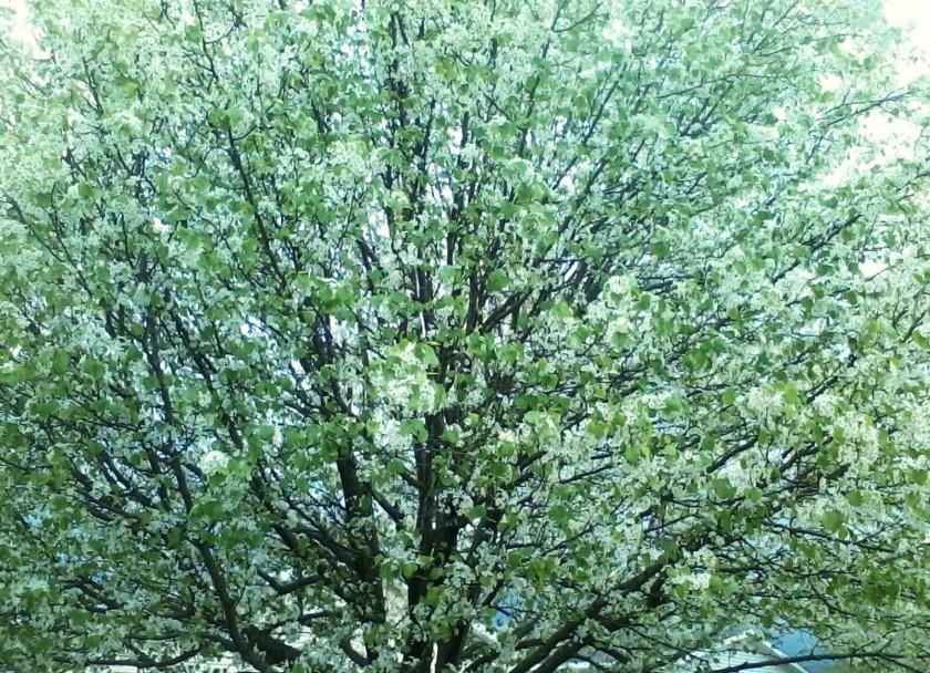 0512 Big Spring Tree