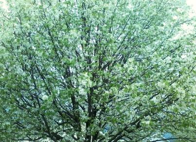Big Spring Tree 2014