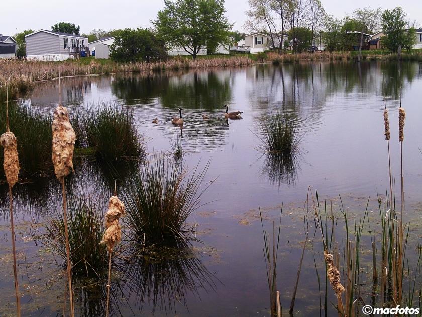 ducksv